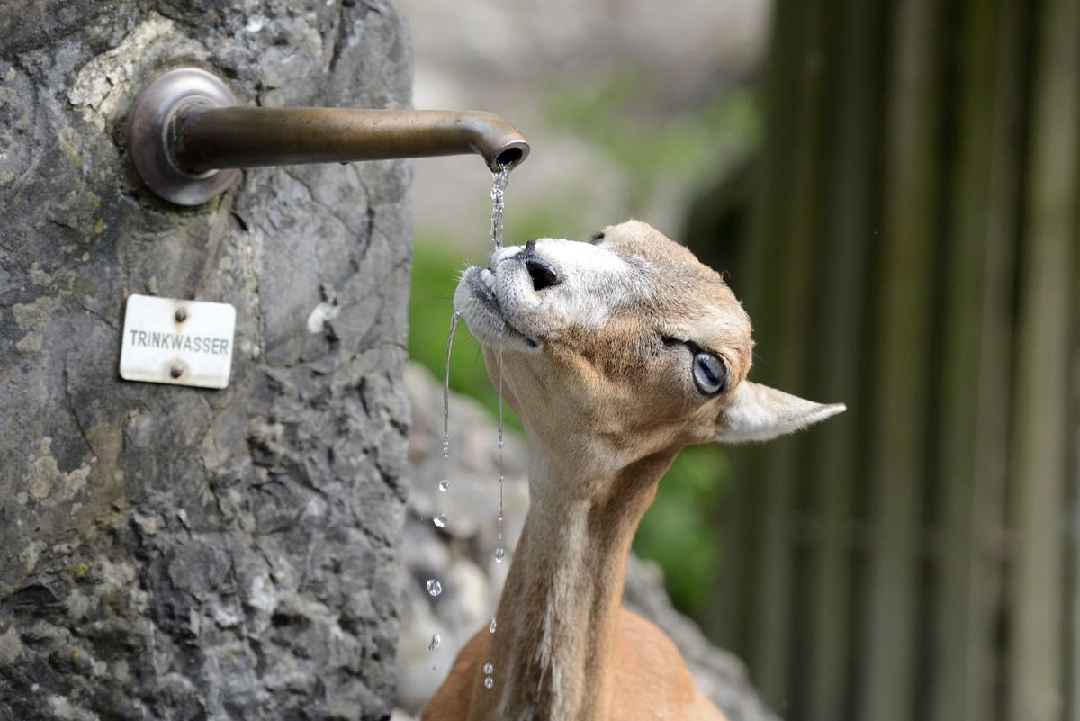 Moufflon trinkt an Wasserhahn